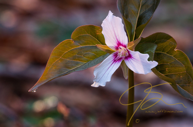 Painted trillium in New Hampshire