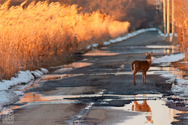 Looking Back. A young deer jumped out of the reed and looked at me.