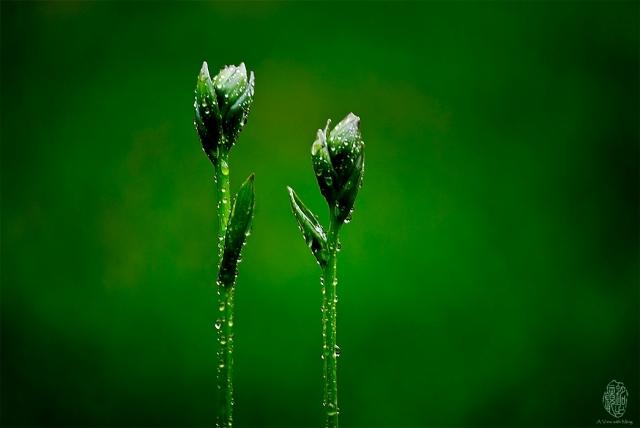 Hello. Hostas flowers in rain.