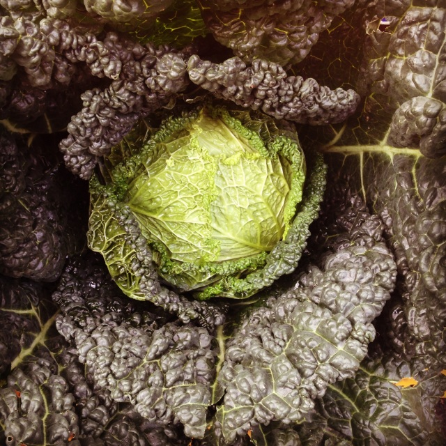 Verza cabbage by Sara Rosso