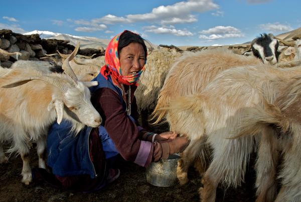 milking-the-goats-on-ladakhs-changtang-plateau