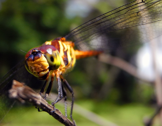 Dragonfly resting on a branch in Ubud, Bali. Photo by Brie Anne Demkiw.