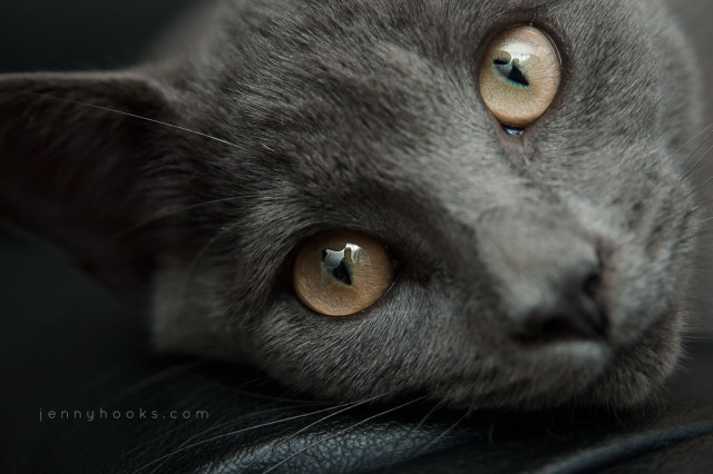 "A portrait of a gray kitten with golden eyes. Photo by <a href=""http://threebirds.blog"" target=""new"">Jen Hooks</a>."