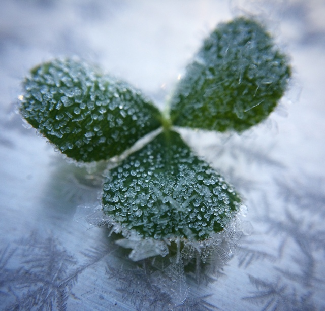 "An image of a clover leaf covered in delicate frost. Photo by <a href=""http://threebirds.blog"" target=""new"">Jen Hooks</a>."