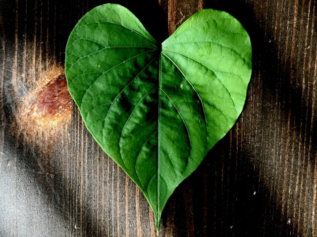 Photo of a heart-shaped moonflower leaf on a wooden tabletop.
