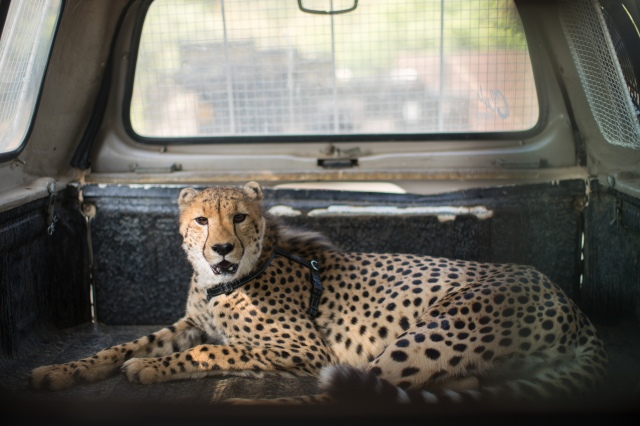 a young make cheetah lays calmly in the back of a pickup truck and looks directly at the camera