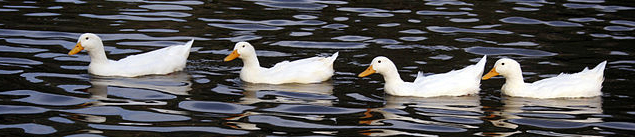 640px-Ducks_in_a_row